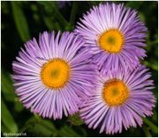 180px-T_three_flowers_875